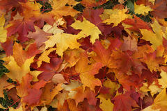 Autumn background. Yellow and red autumn leaves background Stock Photography