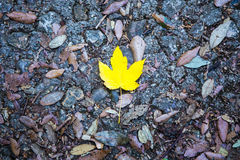 Autumn background - alone yellow maple leaf on a road Stock Photos