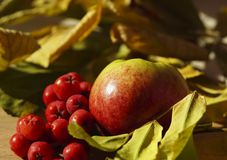 Autumn background. Apple and red berries rowan close-up against a background of yellow-green leaves. Stock Image