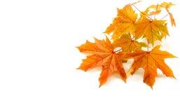 Autumn Background avec la brindille des feuilles de châtaigne Photographie stock libre de droits