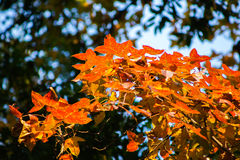 Autumn background with beautiful orange maple tree and sunlight Royalty Free Stock Photos