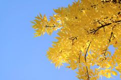 Autumn background with beautiful yellow leaves and blue sky. Tree foliage with sunlight and texts space stock photo