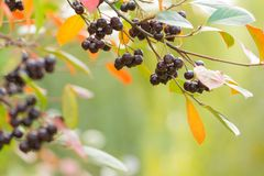 Autumn background with berries royalty free stock images
