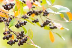 Autumn background with berries Stock Photography
