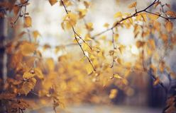 Autumn background with birch branches. With yellow leaves. Golden autumn Royalty Free Stock Photography