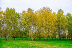 Autumn Background of Birch Trees with Yellow Leaves Royalty Free Stock Photos