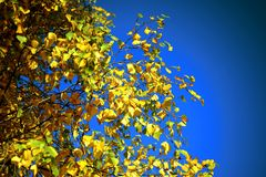 Autumn background with birch yellow leaves and blue sky Royalty Free Stock Images