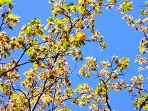 A bright picture of the beginning of autumn. The maple branches with seeds and leaves are brightly lit by the sun against the blue. Autumn background. The blue royalty free stock image