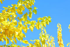 Autumn background blue sky yellow leaves Royalty Free Stock Photo