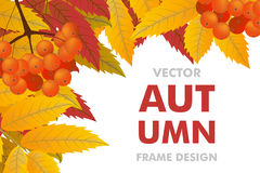Autumn background with branch of rowan, berries and leaves. Fram. E fall. Vector illustration Royalty Free Stock Image