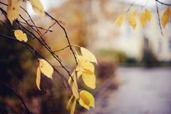 Autumn background with birch branches. Autumn background with branches with yellow leaves. Golden autumn Stock Image