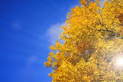 Autumn background. Branches with yellow leaves on a background of sunny blue sky stock image