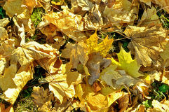 Autumn background- bright autumn dry maple leaves Stock Photography