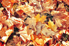 Autumn background- bright autumn dry maple leaves Royalty Free Stock Photography
