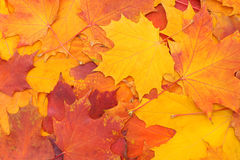 Autumn background - bright colorful leaves Royalty Free Stock Image