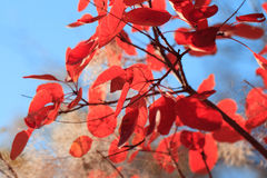 Autumn background from bright red leaves Stock Image