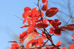 Autumn background from bright red leaves Stock Photos
