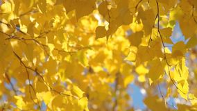 Yellow birch leaves. Autumn background with bright yellow birch leaves stock video