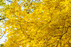 Autumn background with bright yellow maple leaves Stock Photography