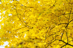 Autumn background with bright yellow maple leaves Royalty Free Stock Photography