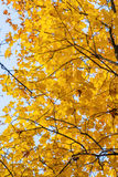 Autumn background with bright yellow maple leaves Royalty Free Stock Images