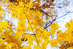 Autumn background with bright yellow maple leaves Royalty Free Stock Photos