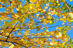 Autumn background - bright yellowed leaves of  bird cherry tree against blue sky Royalty Free Stock Photo