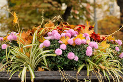 Autumn background. Close-up of  flower. Autumn background Royalty Free Stock Photos
