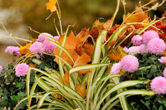 Autumn background. Close-up of  flower. Autumn background Royalty Free Stock Image