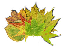 Autumn background with colored leaves isolated on white. Autumn background with colored leaves isolated stock photo