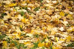 Autumn background with colored leaves of the tree Royalty Free Stock Photo