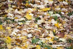 Autumn background with colored leaves of the tree Royalty Free Stock Images