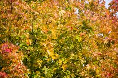 Autumn background with colored leaves of the tree Stock Photography