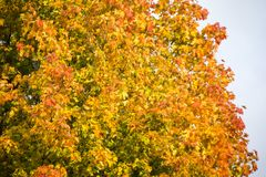 Autumn background with colored leaves of the tree Stock Photos