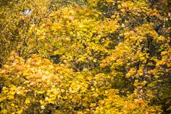 Autumn background with colored leaves of the tree Royalty Free Stock Photos