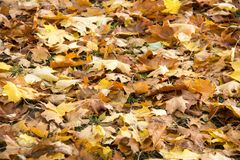 Autumn background with colored leaves of the tree Royalty Free Stock Image