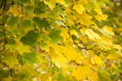 Autumn background with colored leaves of the tree Stock Images