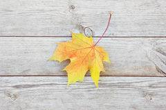 Autumn background with colored maple leaves on old wooden board. Maple leaf lying on the wooden floor Stock Photography