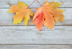 Autumn background with colored maple leaves on old wooden board. Two maple leaf hanging from the top Stock Images