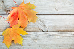 Autumn background with colored maple leaves on old wooden board. Two maple leaf lying on the right side Stock Photo