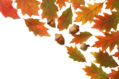 Autumn background with colored oak leaves isolated on white background. top view stock images