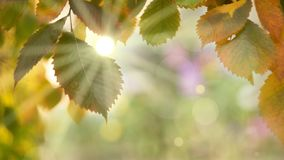 Autumn background colorful ash leaves on a branch sun rays through the leaves Sunny day