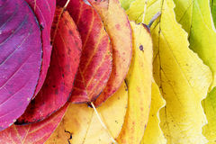 Autumn  background, colorful leaves arranged as a rainbow Royalty Free Stock Image