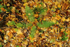 Autumn background with colorful leaves and green ferns Stock Image