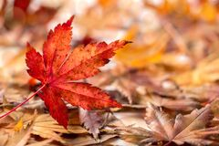 Autumn Background with Colorful Maple Leaves Falling on The Ground