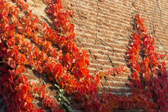 Autumn background. Colorful Virginia Creeper, Parthenocissus Quinquefolia, with red leaves on a bricks wall. Stock Image