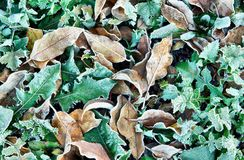 Autumn background with dead frosty leaves and brown grass Royalty Free Stock Images