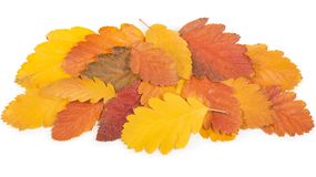 Autumn background of fall leaves on white background. Stock Images