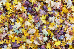 Autumn background of fallen leaves. Stock Photos