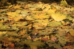 Autumn background - fallen yellow maple leaves Stock Photo